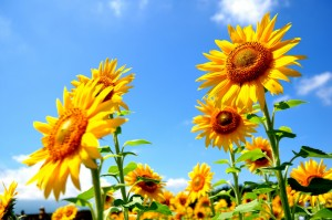 summer_sunflower