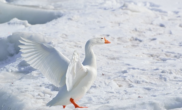 greater-snow-goose-284211_640